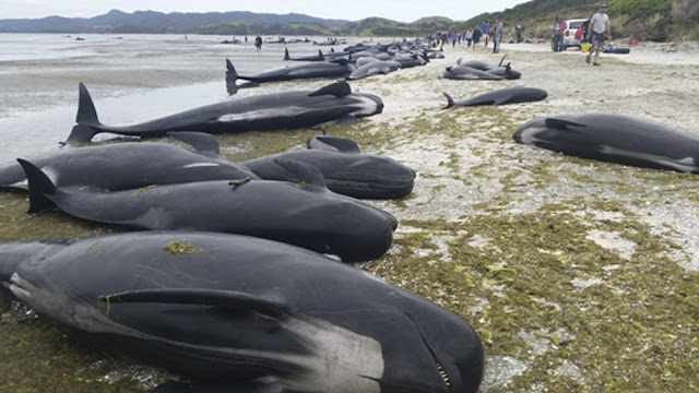 "Largest ""Whale Sentinel"" Beaching In Human History Prompts Russian Navy Evacuation  La-fg-new-zealand-whales-20170210"