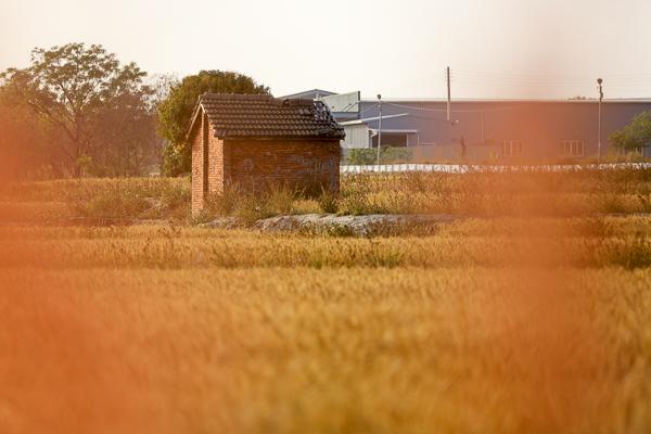 台中大雅紅磚屋小麥田搭配彎曲S型田梗,歐洲鄉村風麥田好好拍