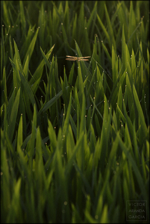fotografía, naturaleza, libelula, parotet, Valencia, arrozales, Fortaleny