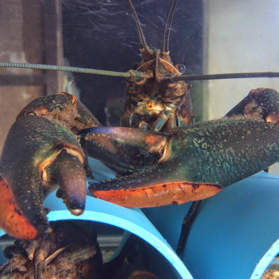 Lobster Air Tawar Lobster Air Tawar Lat