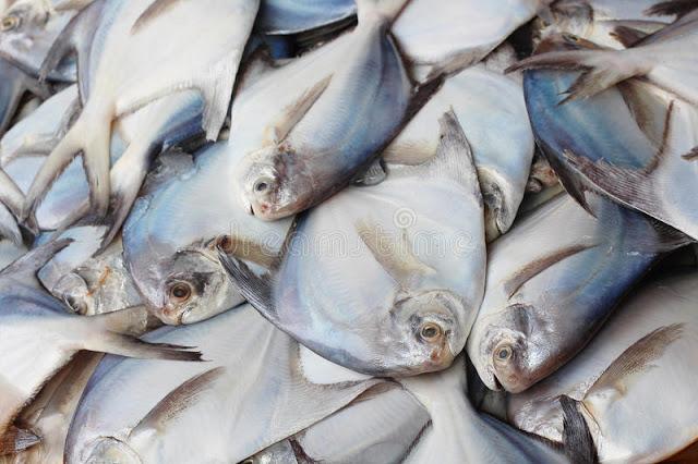 Supplier Jual Ikan Bawal Bibit & Konsumsi Makassar, Sulawesi Selatan Paling Diminati