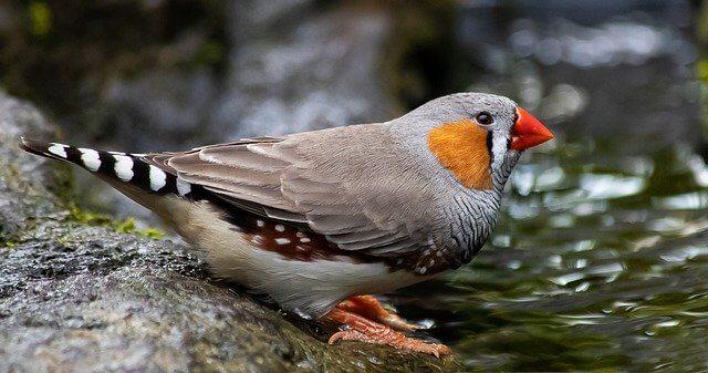 طيور الزينة صنف الزيبرا فينيش قرب جدول ماء birds-zebra-finch