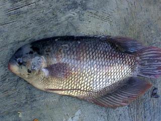 Klasifikasi Ikan Gurame dan Morfologi Ikan Gurame (Osphronemus gouramy)