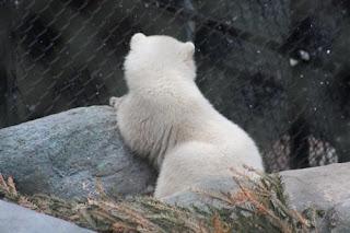 Juno the baby Polar Bear.