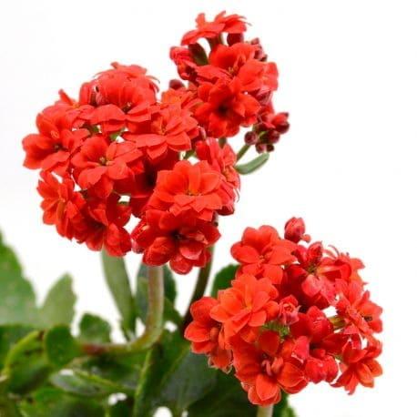 Tanaman Hias Daun Red Kalanchoe