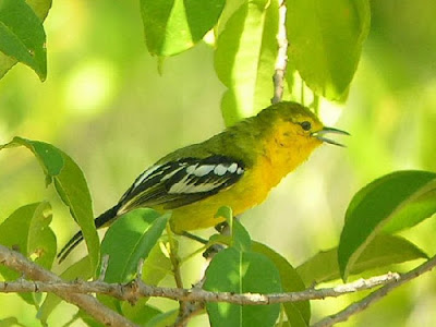 Mp3 Suara Kicau Burung Sirtu Gacor di Alam Liar Durasi Panjang