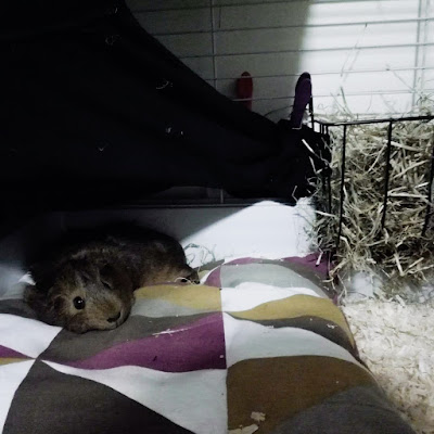 Tara the guinea pig on a cushion
