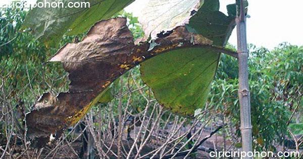 ciri ciri pohon daun jati