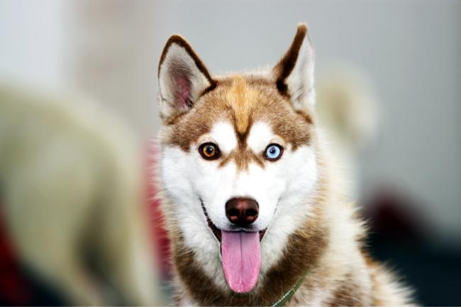 Dlaczego husky mają kolorowe oczy?