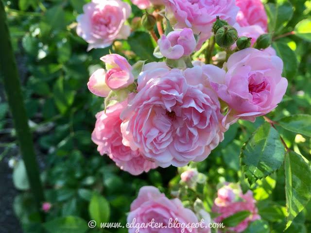 Blühende Fairy Rosen