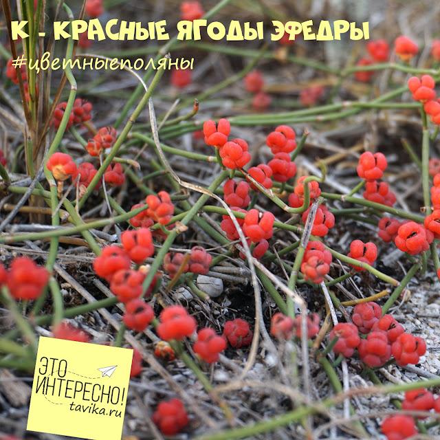 ягоды эфедры, Крым