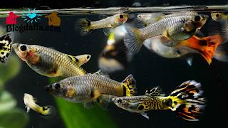 Cara memijahkan ikan Guppy
