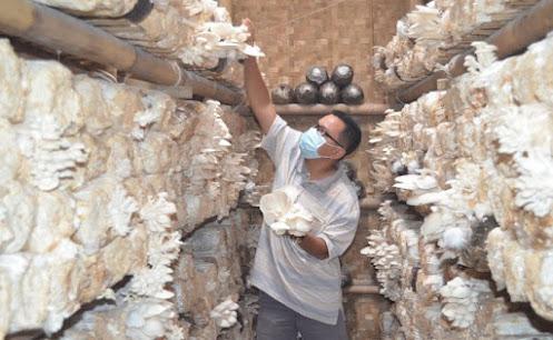 Proses panen jamur tiram