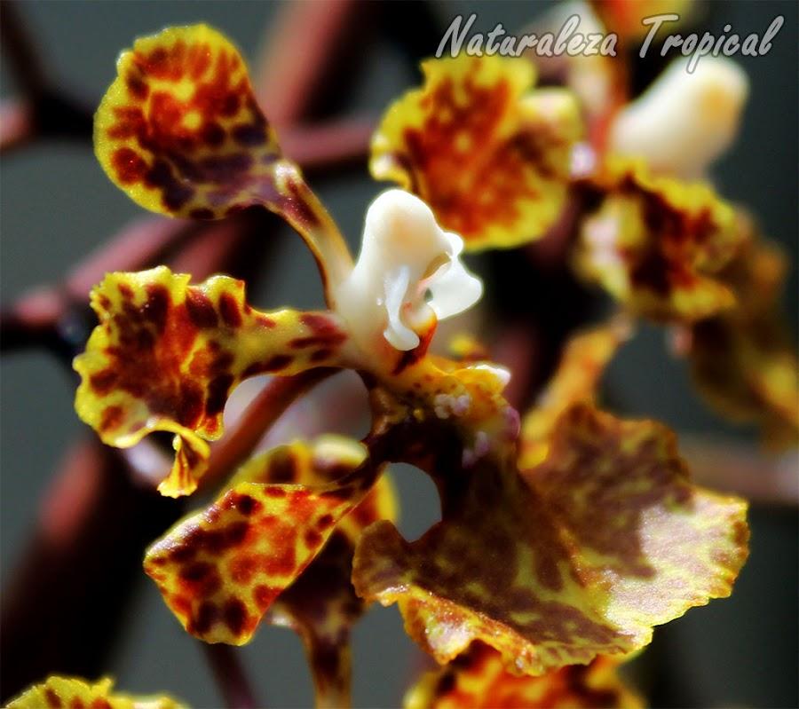 Vista lateral de la flor dela orquídea Oreja de Burro, Trichocentrum undulatum