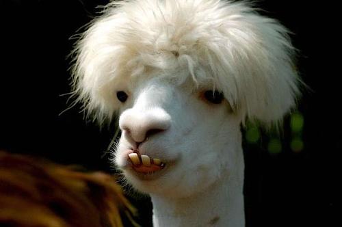 Cute Llama Wallpaper Desktop Funny Llama Pictures Funny Animal