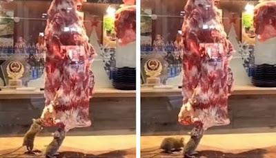 Tikus makan daging sapi