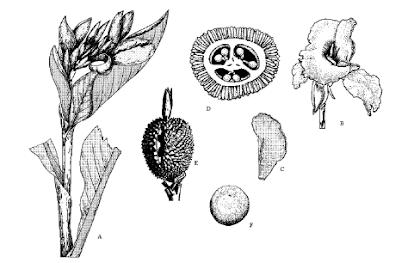Morfologi Cannaceae