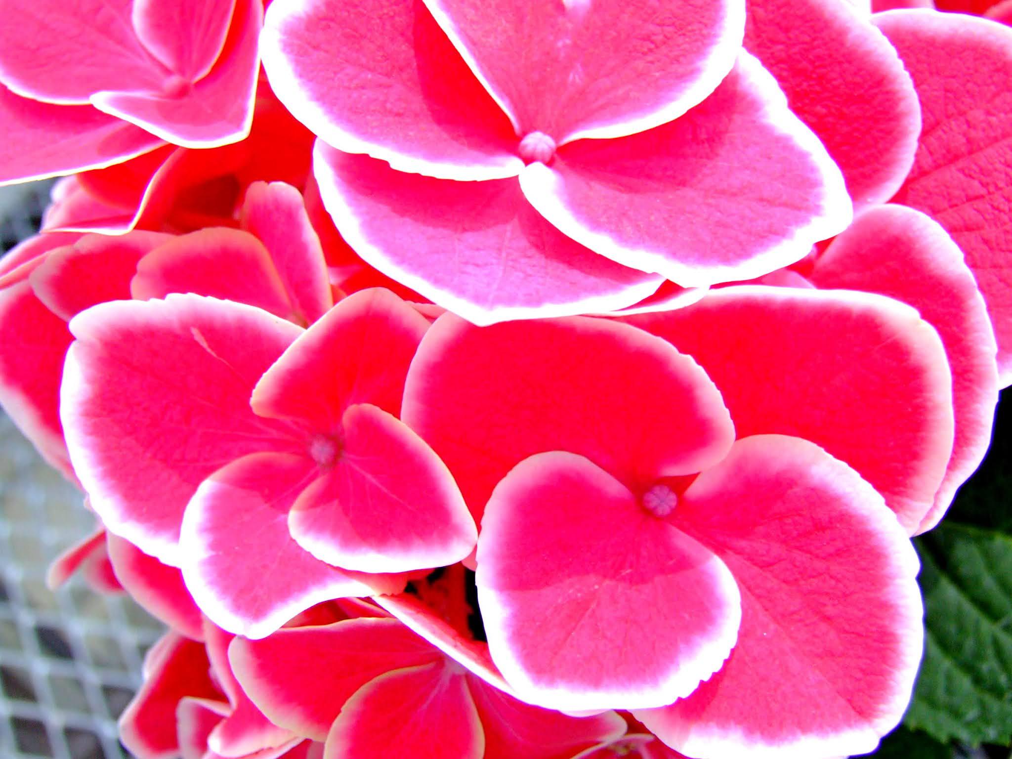濃いピンクと白い縁がとてもかわいい紫陽花(アジサイ)の写真素材です。梅雨の時期のブログなどを彩る素材としていかがでしょう。