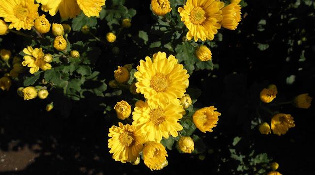 11月に咲いた黄色いキンセンカ