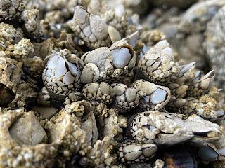 Cape Kiwanda Tide Pool - Pelagic goose barnacles.
