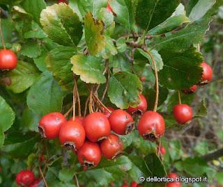 rose erbe officinali lavanda flora spontanea piccoli frutti ribes more lamponi uvaspina fragole pomodori bosco in appennino vicino Zocca Modena Bologna