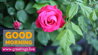 Pink-Rose-Flower-Good-Morning-orange-Text