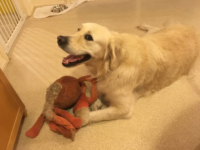 a large golden retriever lies on the floor of a house, smiling at the camera. A very ratty looking orange toy lies between his paws.