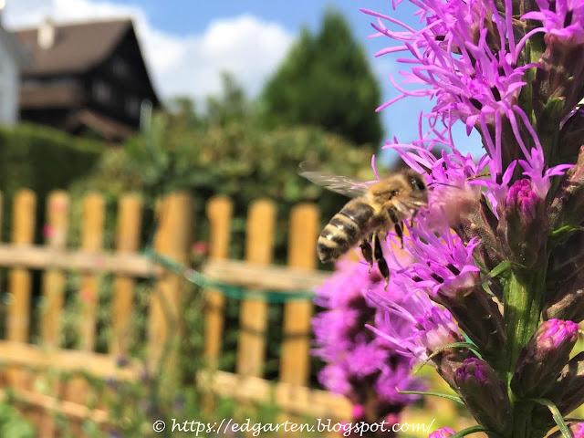 Biene auf der Prachtscharte