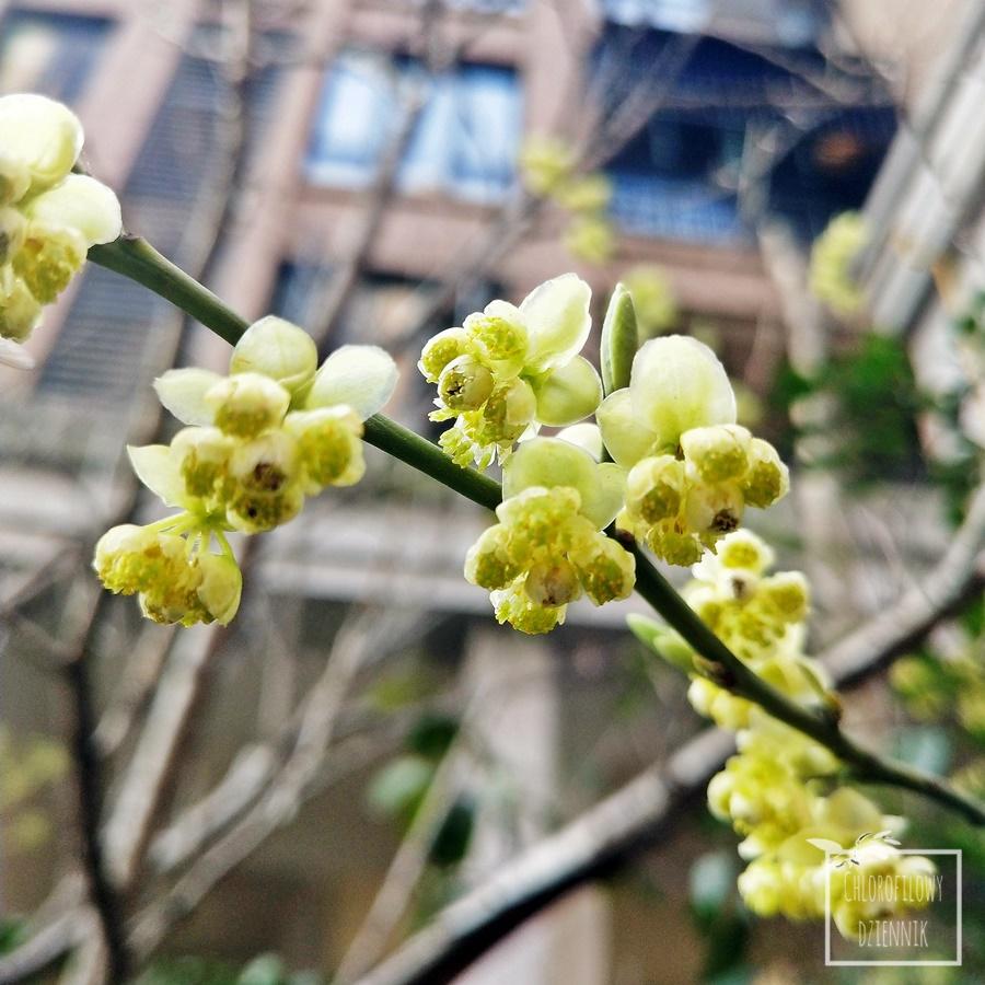 Werbena egzotyczna, górska (Litsea cubeba) pieprz górski, zastosowanie i użytkowanie, jak wygląda i smakuje, gdzie rośnie, kwiaty, opis, uprawa, smak