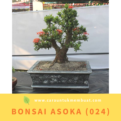 Bonsai Asoka (024)