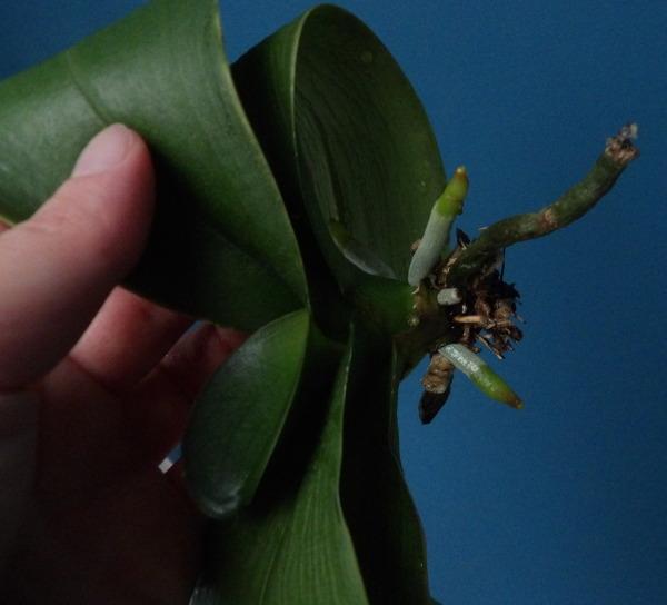 Phalaenopsis  en hydroctulture Phal03_hydro02_21_07_18