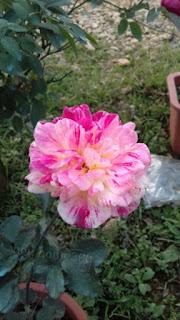 làm phân bón chuối hoa hồng nở đẹp
