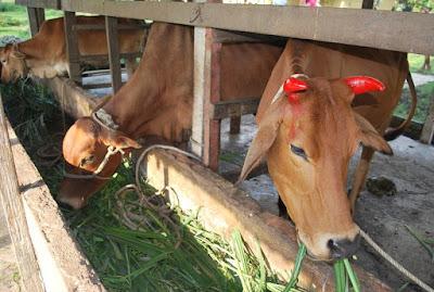 peluang bisnis di pedesaan ternak sapi