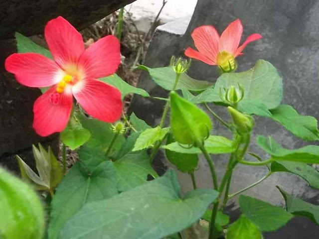 CÂY SÂM BỐ CHÍNH - Hibiscus sagittifolius - Nguyên liệu làm Thuốc Bổ, Thuốc Bồi Dưỡng