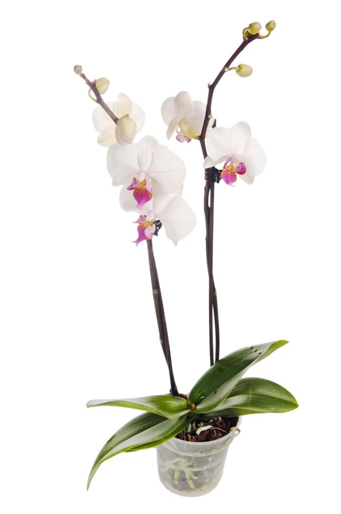 Cuidado De Orquideas Hoy En Da Es Muy Frecuente Que Las Orqudeas - Orquideas-blancas-cuidados