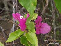 Bougainvillea flowers close up - Senator Fong's Plantation and Gardens, Oahu, HI