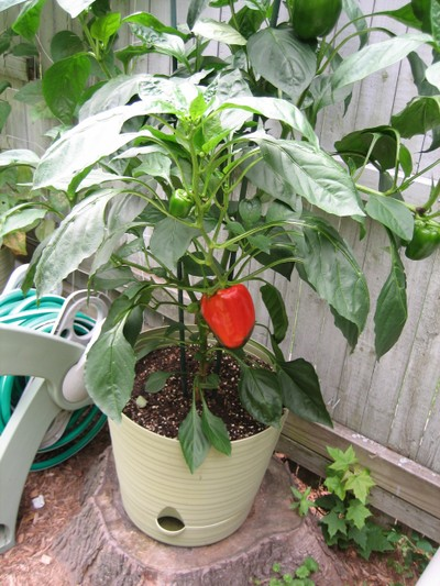 Growing Peppers In Your Vegetable Garden: Garden Of Steph: Container Vegetables: Peppers And Tomatoes