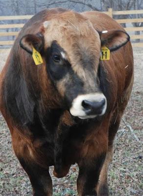 Parthenais Cattle Temperament, Origin, Facts, Weight