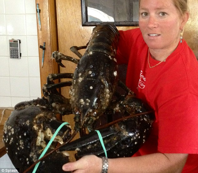 mother nature: Giant Lobster
