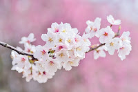 image of a cherry blossom