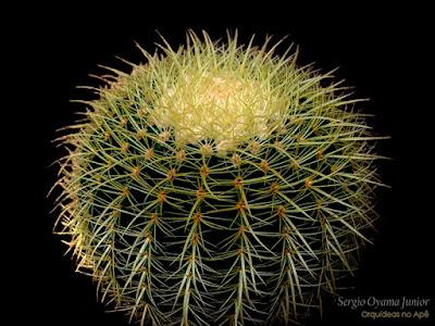 Cacto Echinocactus grusonii