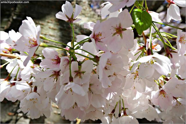Flores del Cerezo en la Esplanade de Boston