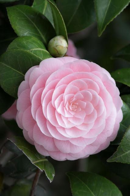 The perfect pink camellia content in a cottage - Cuidados de la camelia japonica ...