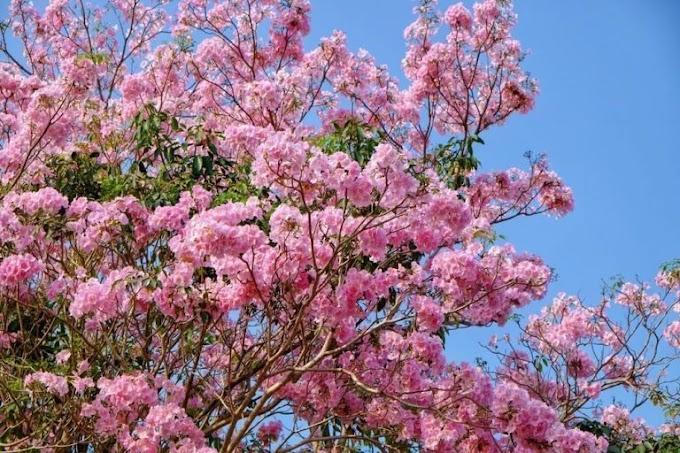 Cara menanam pohon tabebuya di Halaman Rumah