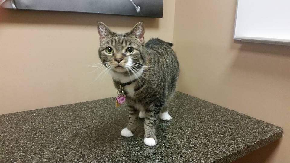 tabby cat at vet|fainting cat|vaso vagal syncope