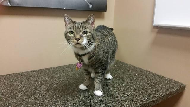 tabby cat at vet fainting cat vaso vagal syncope