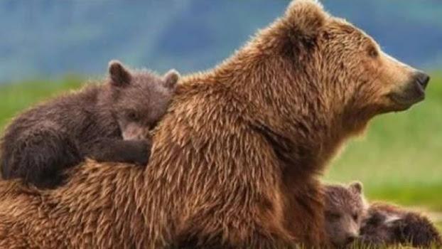 Trento: il Tar annulla l'ordinanza di cattura, mamma orsa (JJ4) è salva