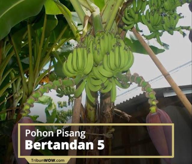 Viral Pohon Pisang di Grobogan Bertandan 5 dan Bercabang 2, Pemilik Mengaku Sempat Dapat Firasat