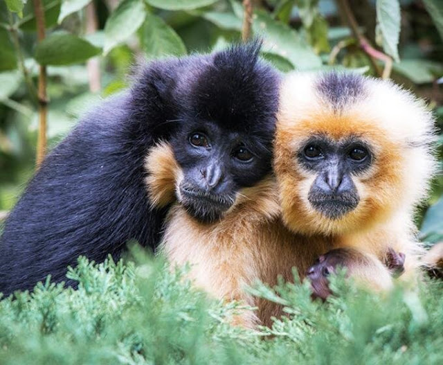 Research sheds light on the evolutionary puzzle of primate coupling