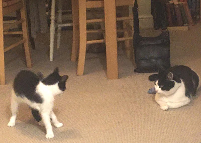 balack and white kitten in left foreground looking startled, with arched back, looking towards large black and white cat sitting and ignoring it.